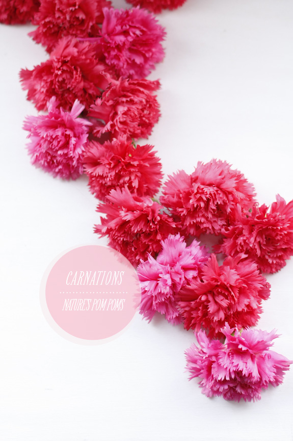 Carnations: Nature's Pom Poms