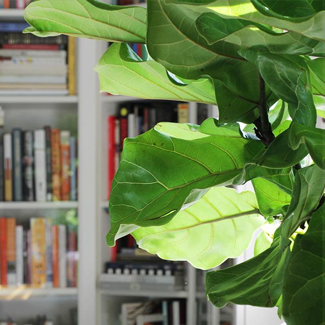 Fiddle Leaf Fig Leaves
