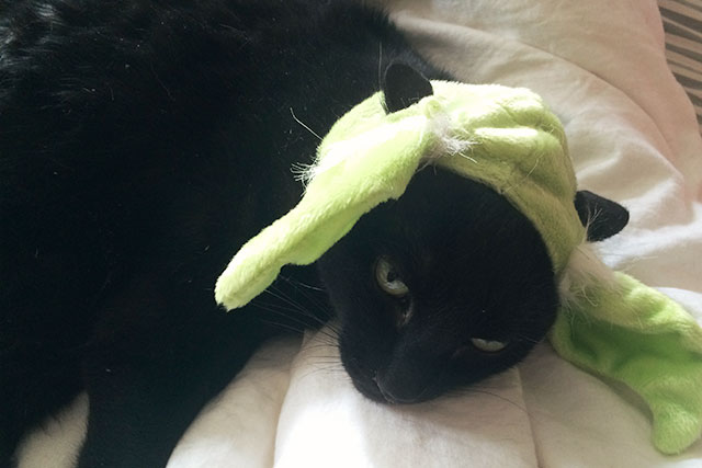 Yoda Ears on the Cat
