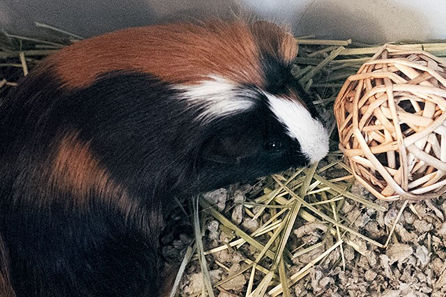 Gingerbread the Guinea Pig