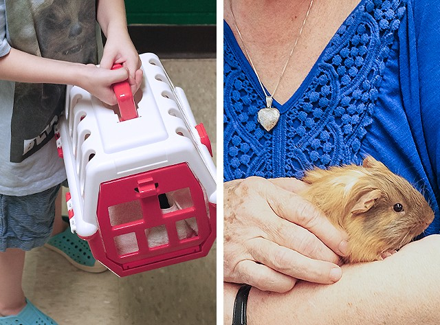 Cute-Cute, the Guinea Pig, Goes to School