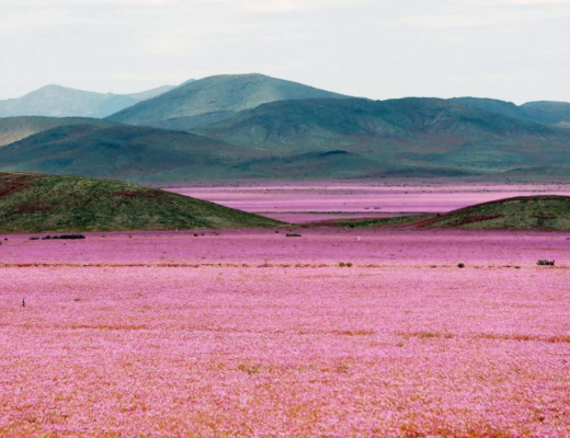 Pink Flowers Bloom in a Chilean Desert