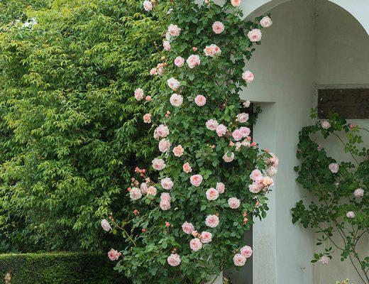 David Austin English Rose - A Shropshire