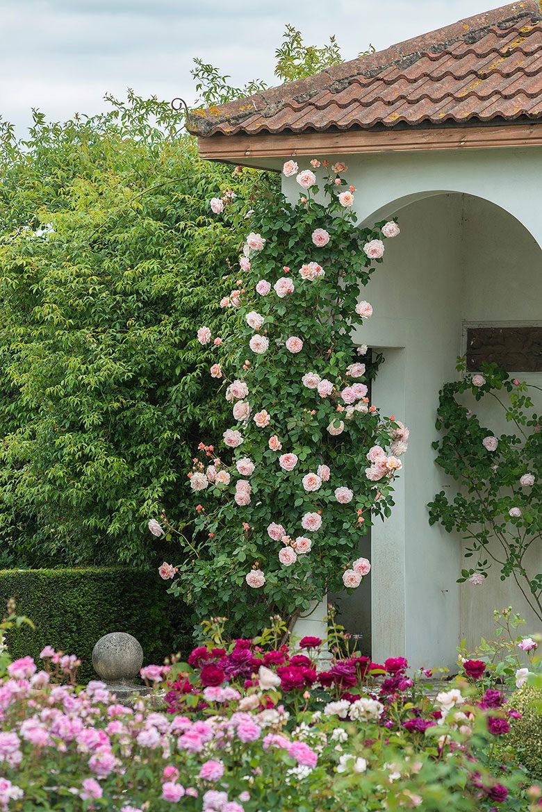 David Austin English Rose -  A Shropshire Lad