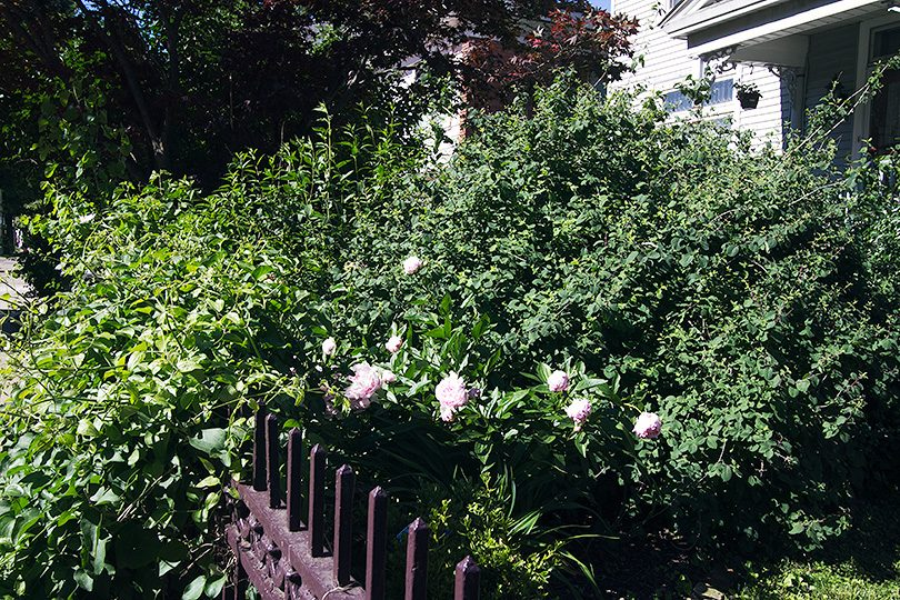 Autumn Sweet Clematis, Pink Peonies, Boxwood, and a Giant Mystery Bush