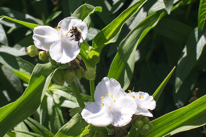 White Flowers and a Bee
