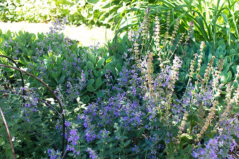 Catmint, Sedum, and Daylilies