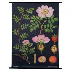 Dog Rose Botanical Print Poster