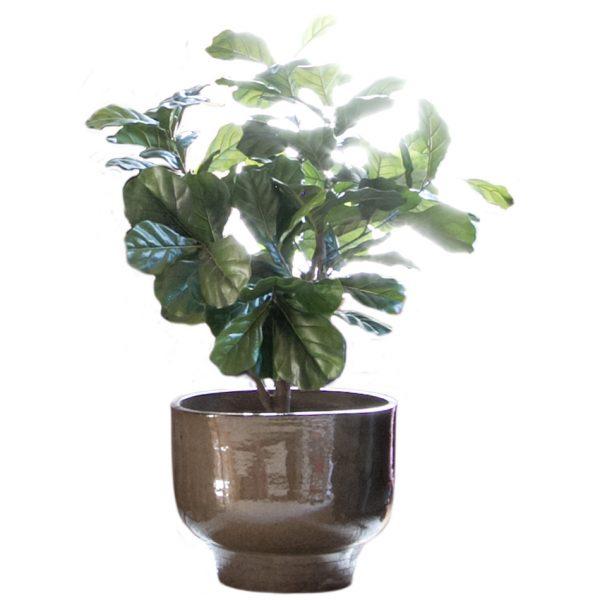 Ceramic Planter Pot with Fiddle Leaf Fig