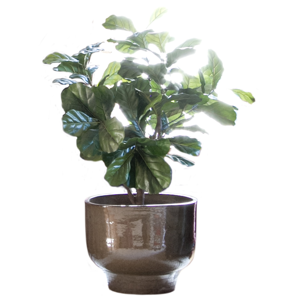 Ceramic Planter Pot with Fiddle Leaf Fig