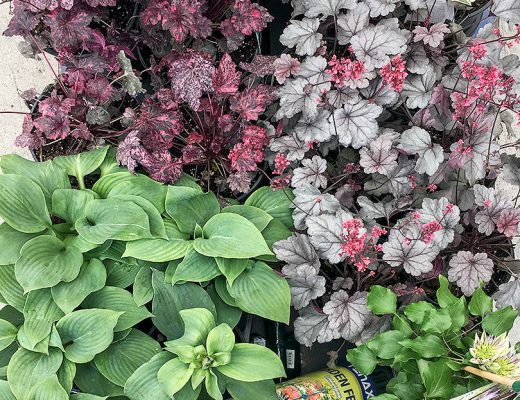 Hostas and Heuchera