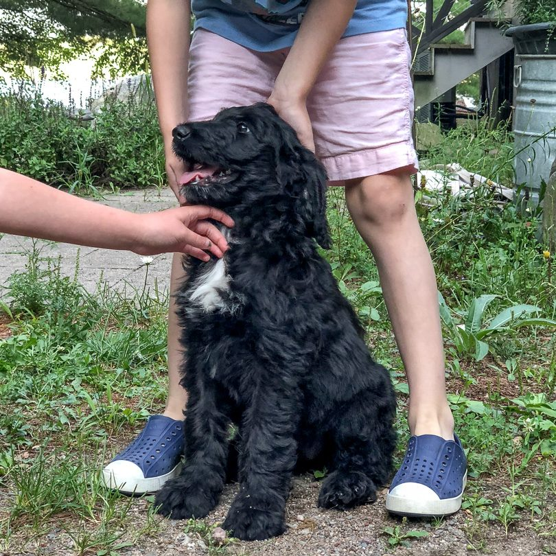 Lily, Black Labradoodle Puppy