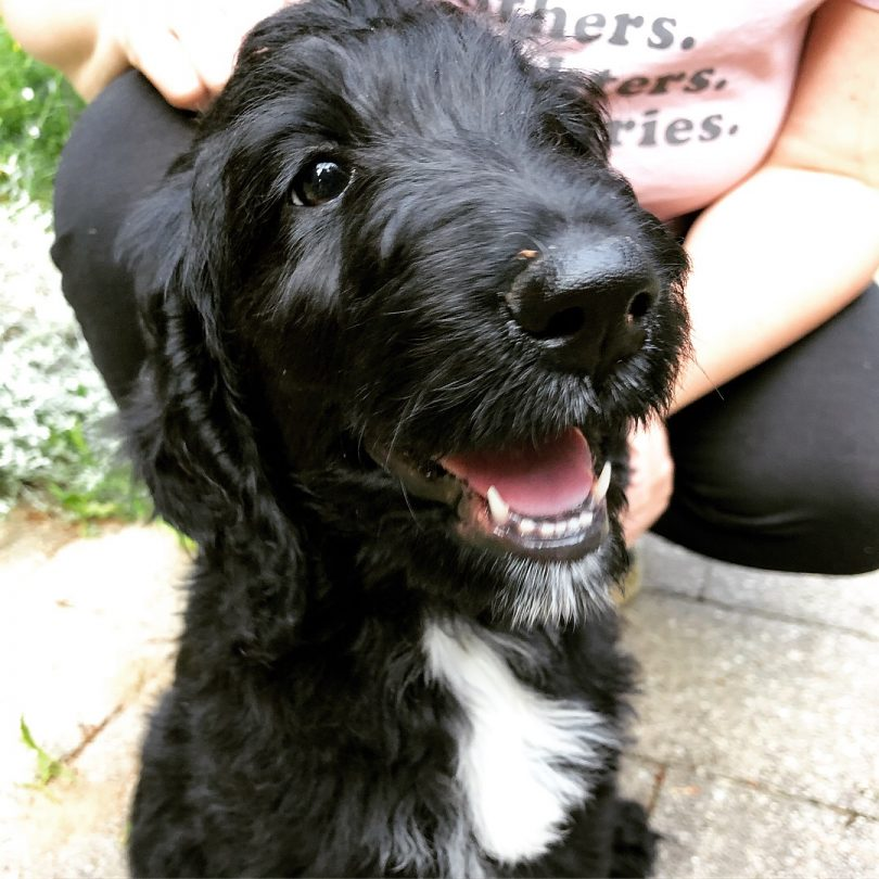 Lily, a Black and White Labradoodle Puppy