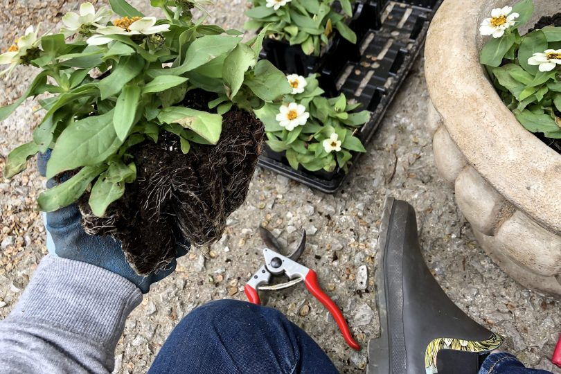 Planting Annual Flowers (Zinnias)