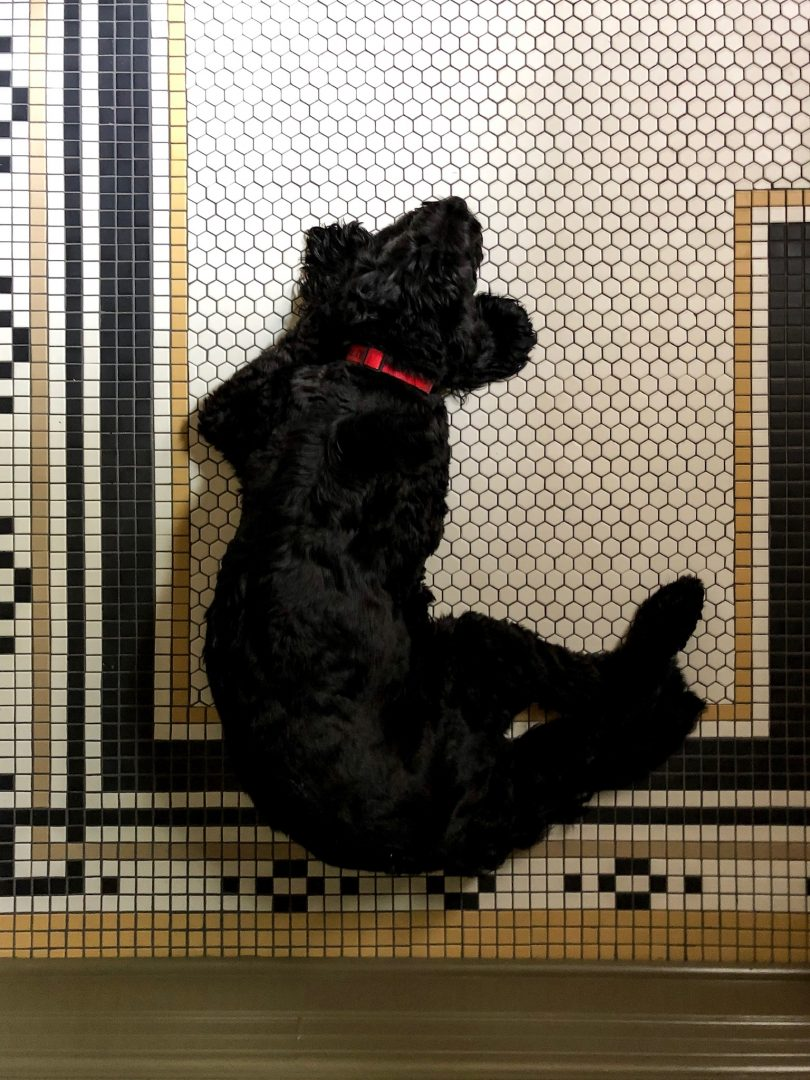 Lily Labradoodle on Mosaic Bathroom Floor Tile